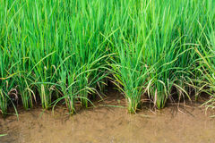 Rice plants in field with water. Stock Photography