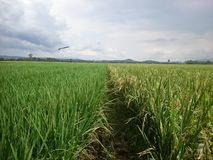 Rice in the field background stock photography