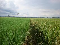 Rice in the field background royalty free stock photography