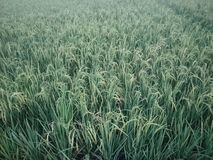 rice plants in the fields royalty free stock images