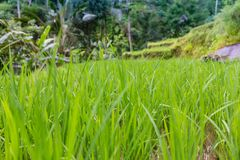 Rice Plants with Golden Grains in Bali stock images