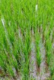 Rice Plants with Golden Grains in Bali royalty free stock photo