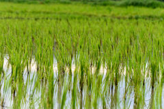 Rice plants are growing Royalty Free Stock Images