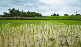 Rice plants growing Royalty Free Stock Photography