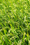 Rice plants growing in a paddy field Stock Images