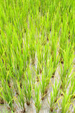 Rice plants growing in water Stock Photos