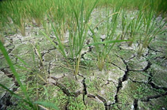 Rice plants grown in soil damaged Stock Image