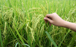 Rice plants and hand. Rice plants with women hand Royalty Free Stock Images