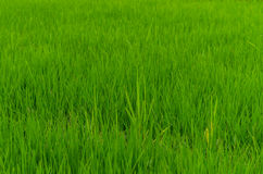 Rice plants large view Royalty Free Stock Photography
