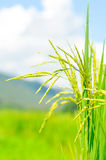 Rice plants Royalty Free Stock Image