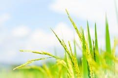 Rice plants Stock Photo