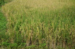 Rice plants at paddy fields, close up Stock Image