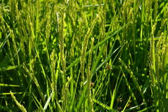 Rice plants in a ricefield Stock Image