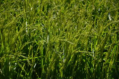 Rice plants in a ricefield Stock Photography
