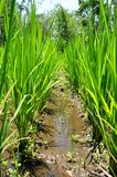 Rice plants. Row of young rice plants growing in a rice paddy on Java, Indonesia royalty free stock photo