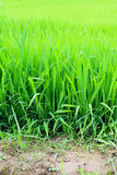 Rice plants in Vietnam. Photograph of rice plants in a rice paddy near the mountain village of Sapa, Vietnam Stock Images