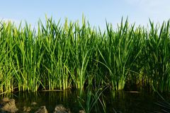 Rice plants on water field plantation. Stock Images