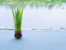 Rice plants Royalty Free Stock Photography