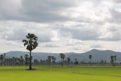 Rice pola i cukrowa palma Zdjęcia Stock