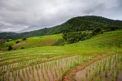 Rice pola na tarasowatym Pa Pong Pieng, Mae Chaem, Chiang Mai, Obraz Stock