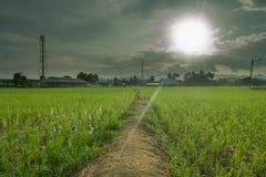 Rice pola przed zmierzchem Obrazy Royalty Free