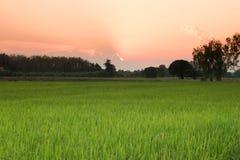 Rice pola przed zmierzchem Zdjęcia Stock