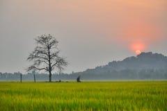 Rice pola przy świtem Zdjęcia Royalty Free