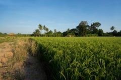 Rice pola przy zmierzchem Piękny natura obraz stock