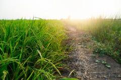 Rice pola przy zmierzchem Pi?kny natura obrazy royalty free