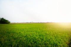 Rice pola przy zmierzchem Pi?kny natura obraz royalty free