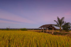Rice pola przy zmierzchem w Lampang, Tajlandia Obrazy Royalty Free