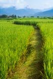 Rice pola sposób na zieleni pola tle obraz stock