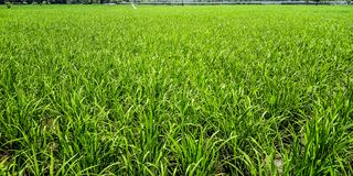 Rice pola teren obraz royalty free