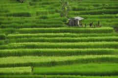 Rice pola w Bali, Indonezja Jedzą Modlą się miłości Fotografia Stock