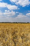 Rice pola w India zachodni Bengal obraz stock