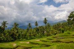 Rice pola w północy wyspa Bali, Indonezja Zdjęcia Royalty Free