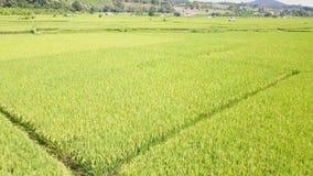 Rice pola w wsi Tajlandia zbiory wideo