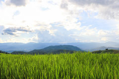 Rice pola w wsi Tajlandia Fotografia Stock