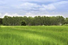 Rice pola widoku pole z eukaliptusem ścienny drzewny nieba błękit, tha Fotografia Stock