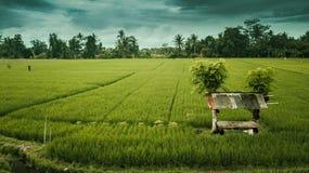 Rice pola wieczór obrazy royalty free