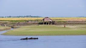 Rice pola wzdłuż Kaladan rzeki w Myanmar Obraz Stock