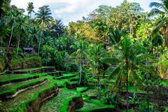 Rice pola z palmą na Bali, Indonezja fotografia stock