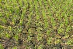 Rice pola z suszą Zdjęcia Royalty Free