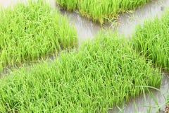 Rice pole Zdjęcia Stock
