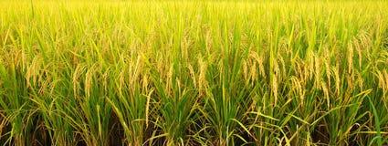 Rice pole Obrazy Stock