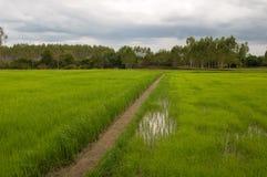 Rice pole Fotografia Royalty Free