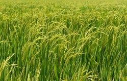 Rice pole Obrazy Royalty Free
