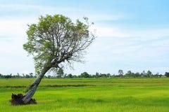 Rice pole Zdjęcie Royalty Free