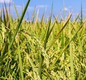 Rice pole Zdjęcie Stock