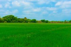 Rice pole jest zielony z drzewami i niebem fotografia royalty free